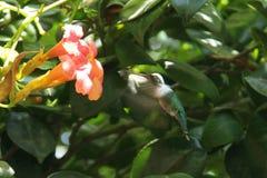 Colibri avec la fleur d'Argentine Images stock