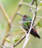 colibri Azul-com crista Imagens de Stock Royalty Free