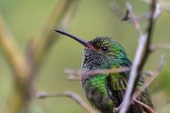 colibri Azul-com crista Foto de Stock