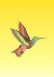 Colibri bird Stock Photography