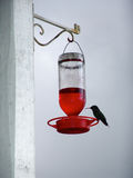 Colibri bird jamaica small Stock Photo