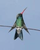 Colibri Broad-billed Photographie stock libre de droits