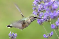 Colibri buvant du nectar lavendar image stock