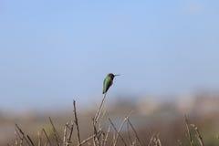 Colibri chinned preto Imagem de Stock Royalty Free
