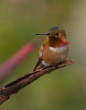 Colibri coloré se reposant sur un branchement Photographie stock libre de droits