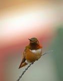 Colibri coloré se reposant sur un branchement Photos stock
