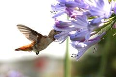 Colibri com flor Foto de Stock Royalty Free