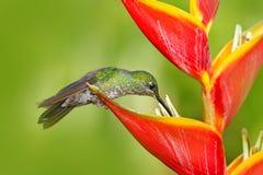 Colibri com flor vermelha Fotos de Stock