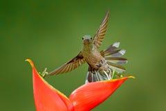 Colibri com flor vermelha Pássaros em voo ao lado da flor bonita, Costa Rica Cena dos animais selvagens da ação da natureza Verde Fotografia de Stock Royalty Free
