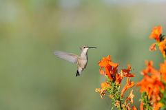 Colibri com flores alaranjadas Fotos de Stock