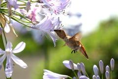 Colibri com fome Imagem de Stock