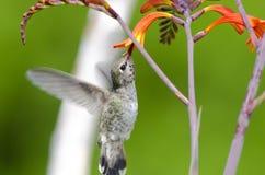 Colibri d'Annas alimentant sur des fleurs de Crocosmia Image stock