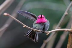 Colibri d'Annas de mâle photographie stock