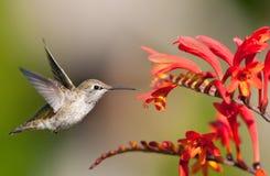 Colibri d'Annas observant des fleurs de Crocosmia Photographie stock libre de droits