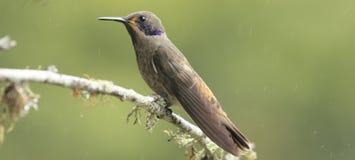 Colibri dans la forêt Photographie stock
