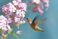 Colibri dans le mouvement. photographie stock