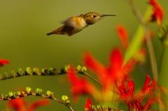 Colibri dans une précipitation photo stock