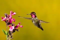 Colibri de Anna foto de stock royalty free