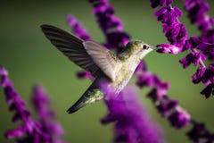 Colibri de Anna fotografia de stock