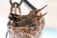 Colibri de bébé dans le nid avec l'enfant de mêmes parents sur le fond blanc image stock