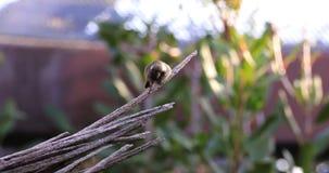 colibri de Chinned de noir de 4K UltraHD Loafing, alexandri d'Archilochus banque de vidéos