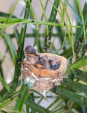Colibri de mère alimentant ses jeunes Image stock