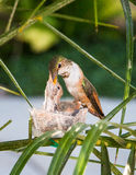 Colibri de mère alimentant ses jeunes Photos stock