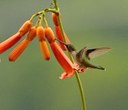 colibri de Rubis-gorge Photos stock
