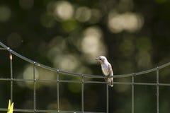 Colibri do ` s de Anna em uma cerca de fio Foto de Stock