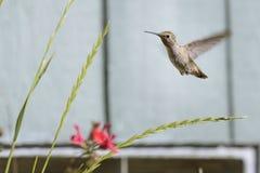 Colibri do ` s de Anna perto das plantas do quintal Fotografia de Stock Royalty Free