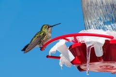 Colibri do ` s de Anna que senta-se em um alimentador do jardim fotografia de stock royalty free