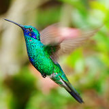 Colibri do verde azul que voa sobre uma laranja tropical f Imagens de Stock