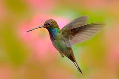 Colibri do voo com fundo bonito Hillstar Branco-atado, bougueri de Urochroa, colibri em voo antes da flor do sibilo, Foto de Stock Royalty Free