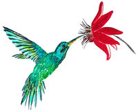 Colibri. Drink nectar from red flower Stock Image
