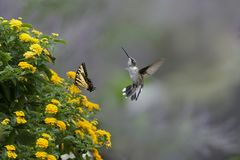 Colibri e borboleta perto das flores do Lantana imagens de stock