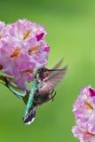 Colibri e flores Foto de Stock Royalty Free
