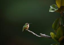 Colibri em repouso fotografia de stock
