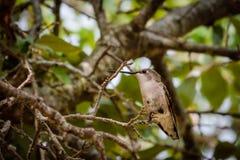 Colibri em uma árvore Imagens de Stock Royalty Free