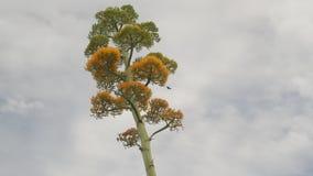 Colibri em uma planta de floresc?ncia da agave filme