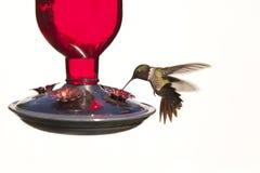 Colibri em voo Fotos de Stock