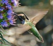 Colibri em voo Imagem de Stock Royalty Free