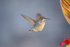 Colibri em voo fotos de stock royalty free