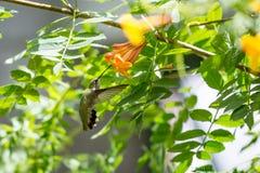 Colibri em voo Foto de Stock