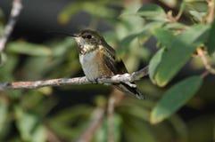 Colibri empoleirado Foto de Stock Royalty Free