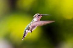 Colibri en vol Photo stock