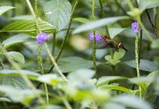 Colibri et fleur Image libre de droits