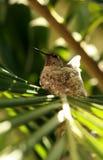 Colibri fêmea empoleirado Imagem de Stock Royalty Free