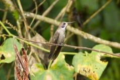 Colibri för Brown Violett-öra Hummingbird delphinae Royaltyfria Foton