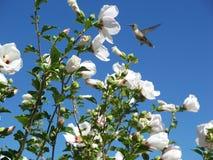 Colibri-fleurs Images stock