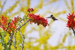 Colibri & flor Fotos de Stock